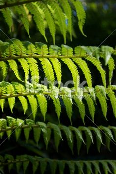 New Zealand Ponga Fern Royalty Free Stock Photo Maori Words, Abel Tasman National Park, Tree Fern, Abstract Photos, Lush Green, Image Now, Ferns, Cactus Plants, New Zealand