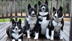 The Karelian Bear Dog (KBD) is a Finnish or Karelian breed of dog. In its home country, it is regarded as a national treasure. KBD will hunt any kind of animal. Its quick reflexes and fearless nature have made it very popular for hunting aggressive game, Cute Puppies, Cute Dogs, Dogs And Puppies, Bear Dogs, Doggies, Dog Photos, Dog Pictures, Animal Pictures, Animals And Pets
