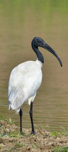 Ibis oriental - Black-headed Ibis - Schwarzhalsibis - Ibis à tête noire Ugly Animals, Animal Faces, World Birds, Animals Of The World, Dinosaurs Extinction, Wild Animals Pictures, Geometric Drawing, Australian Animals, Tropical Birds