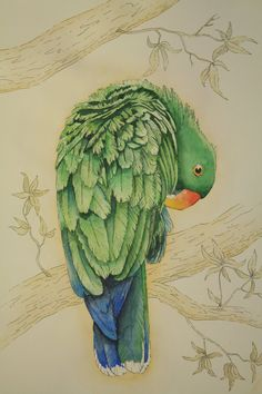 Eclectus Parrot (male) by ~red2008
