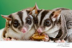 Sugar gliders are a popular exotic pet due in part to their small size and cute, yet unusual, appearance.  tag: are sugar gliders good family pets, are sugar gliders good house pets, are sugar gliders good pets for college students, are sugar gliders good pets reddit, are sugar gliders good pets to have, are sugar gliders good pets yahoo, why are sugar gliders good pets