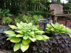 I love combination including the smaller spikey plant in the back Gold Standard Hosta and Palace Purple Coral Bells. This nice thing about some of these new hosta varieties are the huge sizes and bright colors. Very well suited for the front of the house.