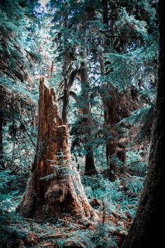 Life after death.... - Just wandering round a rain forest in the Olympic National Park, in Washington, back in 2011.  There really were some great old trees, this one, though, looking quite tragic, apart from the spring of hope that's shown in the little tiny tree that is shooting out from it's side.  www.journeythroughalens.com