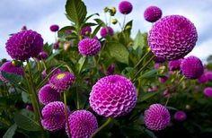 Purple dahlias image via Colorfull at www.Facebook.com/colorfullss