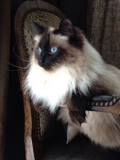 Image result for Most beautiful ragdoll cat