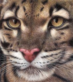 Clouded Leopard Art Print by Pat Erickson. All prints are professionally printed, packaged, and shipped within 3 - 4 business days. Choose from multiple sizes and hundreds of frame and mat options. Animal Paintings, Animal Drawings, Pencil Drawings, Art Drawings, Horse Drawings, Drawing Art, Amazing Drawings, Realistic Drawings, Clouded Leopard
