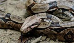 Image result for boa python