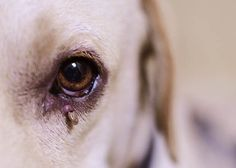 The bacteria Ehrlichia is the primary cause of ehrlichiosis in Labradors. There are different species of Ehrlichia and three of them – the E. canis, the E. ewingii – can affect your pet. Losing A Pet, Diy Stuffed Animals, All Dogs, Your Pet, Labrador Retriever, Labradors, Pets, Board, Labrador Retrievers