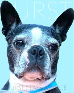 Luxury Spa, Dog Grooming, Boston Terrier, Photo Galleries, Gallery, Dogs, Animals, Boston Terriers, Animales
