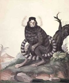 Cotton-eared Marmoset Callithrix jacchus, 1767 by Sydney Parkinson