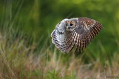 Tawny owl flying by Marc Costermans on 500px