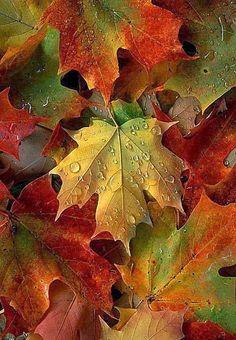 Sugar Maple Leaf.... U need one of these trees!!!! Pleaaaaasssseee!!!!
