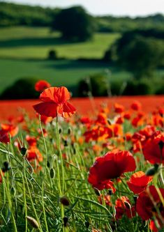 English Poppy Field by kernowrules