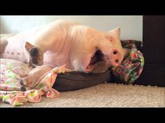 Esther the Wonder Pig the BIGGEST YAWN EVER....so sweet you just have to giggle at this adorable 'little' love!