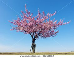 Japan pink cherry blossoms tree and blue sky on spring season.
