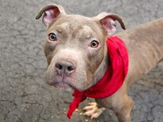 ~~ ~~~~~7 MONTHS OLD~~~~~~~~~~TO BE DESTROYED 6/1/14 Manhattan Center -P  My name is TRELLIS. My Animal ID # is A1000901. I am a male gray and white pit bull mix. The shelter thinks I am about 7 MONTHS old.  I came in the shelter as a STRAY on 05/24/2014 from NY 10035, owner surrender reason stated was STRAY. I came in with Group/Litter #K14-178595.