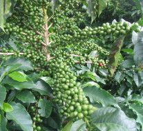Significance of Green Coffee Bean Diet Support