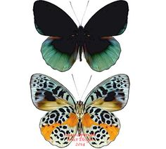 Eunica chlorochroa has a very striking pattern on the underside of its wings. It comes from Peru.