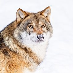 Did you know?  Wolves have about 200 million scent cells. Humans have only about 5 million. Wolves can smell other animals more than one mile (1.6 kilometers) away  Subject: Eurasian wolf Location: #Germany  #timplowdenphotography #wolf #canidae #predator #nose #snow #animal #hunter #misunderstood #ears #wildlife #nature #wildlifephotography #cold #fur #hair #canon #naturelovers #animallovers #travel #traveling #sense #scent #smell