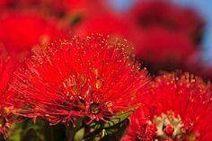Pohutakawa TREE New Zealand