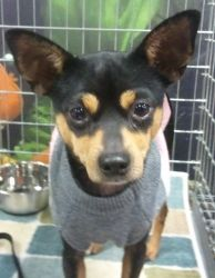 Candy Cane is an adoptable Miniature Pinscher Dog in Orlando, FL.  Candy Cane is a female minpin/chihuahua mix. She is about 9 pounds. She's around 3 years old, spayed, current on shots, heartworm neg...