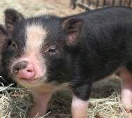 Cute Pigs - Bing Images