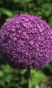 allium purple sensation, sierui - rechterborder - bij geolia