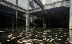 Koi and Catfish have made the flooded basement their home. Abandoned shopping mall now home to exotic fish, Bangkok, Thailand. Abandoned Buildings, Abandoned Malls, Abandoned Mansions, Abandoned Places, Places Around The World, Around The Worlds, Bangkok Shopping, Shopping Malls, Giant Fish