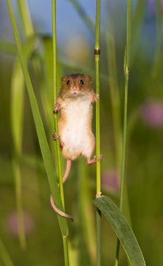 ~~The Secret Life of a Harvest Mouse | photos give a rare insight into the secret lives of tiny harvest mice (Micromys minutus) | by Jean-Louis Klein and Marie-Luce Hubert~~
