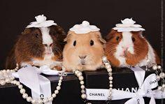 Thank You Guinea Pig Calendar Company - Album on Imgur