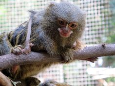 The Titi Leon carefully examining his surroundings! Pygmy Marmoset, Shelter, Wildlife, Animals, Shelters, Pets, Animales, Animaux, Animal