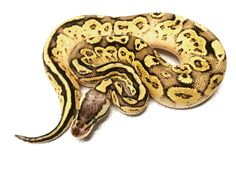 Even though we had little to nothing on the production side of our reptile business this year we still feel our growth both as people and as a business was phenomenal.  We are extremely excited to have so many new genes to add to the lineup moving into next year and on.  We have many people to thank but above all it would have to be @ballpythonshed for allowing us access to some amazing animals at unbeatable prices and believing in us every step of the way. They are and will always be the…