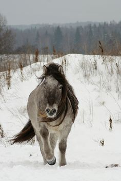 Yakut horse. Horses In Snow, Wild Horses, All The Pretty Horses, Beautiful Horses, Cute Ponies, Horse Pictures, Horse Breeds, Horse Art, Zebras