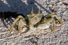 Ghost crab (Photo by Jeff Watson) http://cousinisland.net/discover