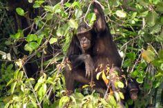 18 mei 2014 - Dag van het Park. Bij een reis naar Gambia is het aan te raden om minstens één van de nationale parken van het land te bezoeken. Met stip op 1 staat het Gambia River National Park dat vooral aan te raden is vanwege het grote aanbod van tropische flora en relatief veel – met uitsterven bedreigde - diersoorten. De kans dat men hier nijlpaarden, chimpansees of monitor hagedissen tegenkomt is relatief groot.