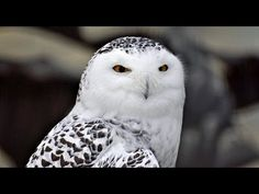 Facts About Snowy Owls. I love snowy owls!