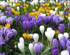 Crocus Large Flowering Mix - Easy To Grow Bulbs