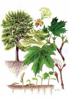Science Illustration, Tree Illustration, Tree Leaf Identification, Plant Fungus, Vintage Botanical Prints, Living Off The Land, Nature Journal, Nature Tree, Horticulture