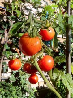 Pomidory w doniczkach - uprawa pomidorów na balkonie   Artykuły