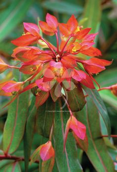 Euphorbia grifitthii 'Fireglow' is not an acid-green but a vermilion-orange euphorbia, invaluable as a garden plant and cut flower from early May to mid summer.