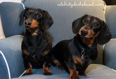 Crusoe Oakley Dachshunds Funny Dachshund, Dachshund Puppies, Dachshund Love, Dogs And Puppies, Weiner Dogs, Dachshunds, Doggies, Crusoe The Celebrity Dachshund, Celebrity Dogs