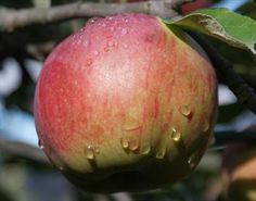 Northern Spy apple trees  Uses      Picking season: Very late      Use / keeping: 3 months or more(explain)      Flavour quality: Very good(explain)      Flavour style: Aromatic      Good for eating fresh      Good for cooking      Good for juice   Very late bloomer