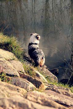 Australian Shepherd dog art portraits, photographs, information and just plain fun. Also see how artist Kline draws his dog art from only words at drawDOGS.com #drawDOGS http://drawdogs.com/product/dog-art/australian-shepherd-dog-portrait-by-stephen-kline/
