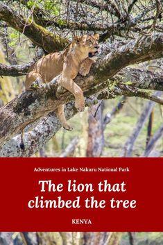 Tree climbing lions | Kenya travel | Lake Nakuru National Park | African safari | Kenya safari