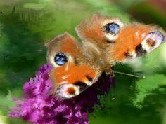 Butterfliii
