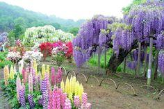 Kawachi-Fuji-Garden-03