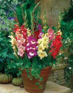Bloom Time:	Mid Summer - Early Fall  Hardiness Zone:	8 - 10  Height:	24″ - 25″  Size:	Bulbs 10-12 cm in circ  Light Requirements:	   Sun  Attributes:	   Pot/Indoor  Garden Guide:	  Gladiolus