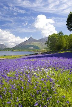 Wild bluebells (Hyacinthoides non-scripta) beside Loch Leven, the Pap of Glencoe beyond, Ballachulish, Highland, Scotland, United Kingdom, Europe