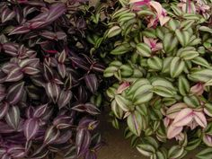 Growing Tradescantia is easy and you'll find the plants to be quite resilient. They're hardy in USDA plant hardiness zones and will tolerate more. Small Indoor Plants, All Plants, Types Of Plants, Indoor Flowers, Growing Plants, Balcony Plants, Garden Plants, Green Garden, Vegetable Garden