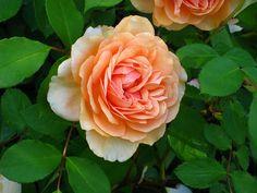Pegasus-David Austin English rose copy
